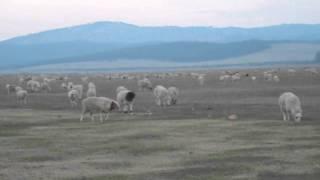 """Монгольская овчарка-банхар. Питомник """"Монголдог"""". Пойдут дожди, Пойдет трава, начнется жизнь..."""