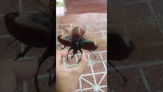 Flying - Chalcosoma caucasus
