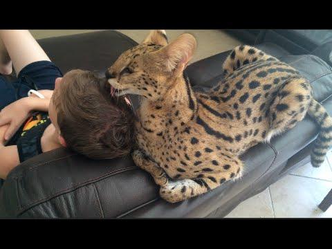 Do Big Cats Love Humans?