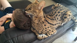 Do Big Cats Love Humans?