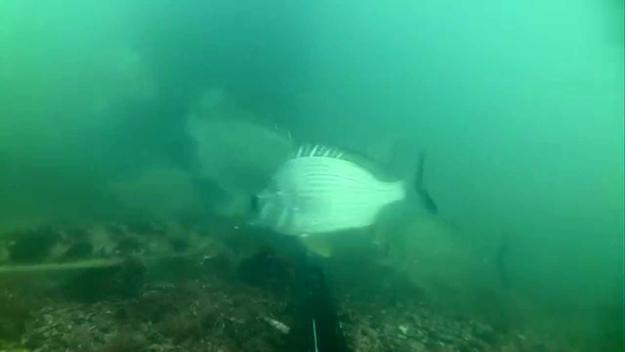 Underwater footage at Woody Point Jetty - Attack of the Flathead