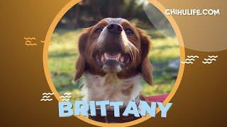 Brittany Dog 101