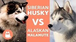 Husky Vs Alaska – Differences Between Siberian Husky and Alaskan Malamute