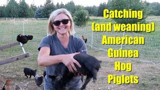 Catching American Guinea Hog Piglets (weaning piglets)