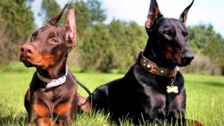 Doberman - Dog Lovers ❤