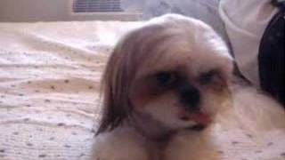 Shih Tzu Hana New Hair Style