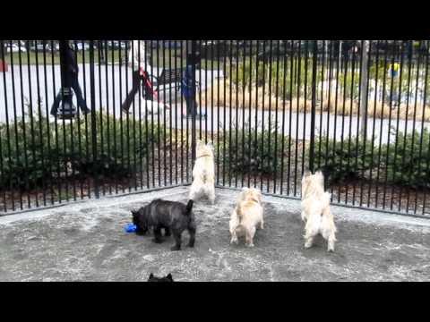 Cairn Terrier Meetup