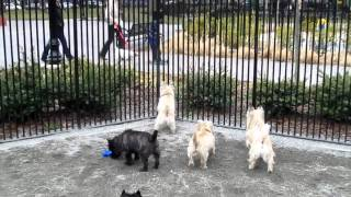 Cairn Terrier Meetup