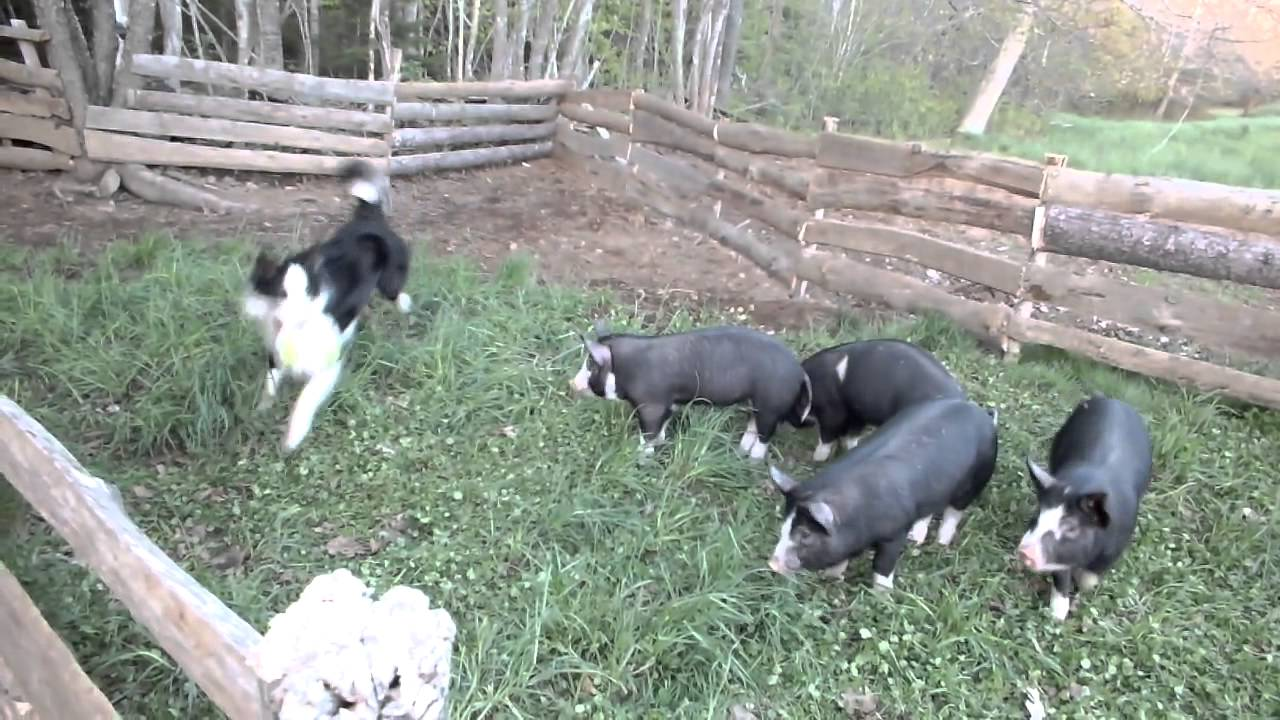 How To Get A Dog To Stop Chasing Cattle