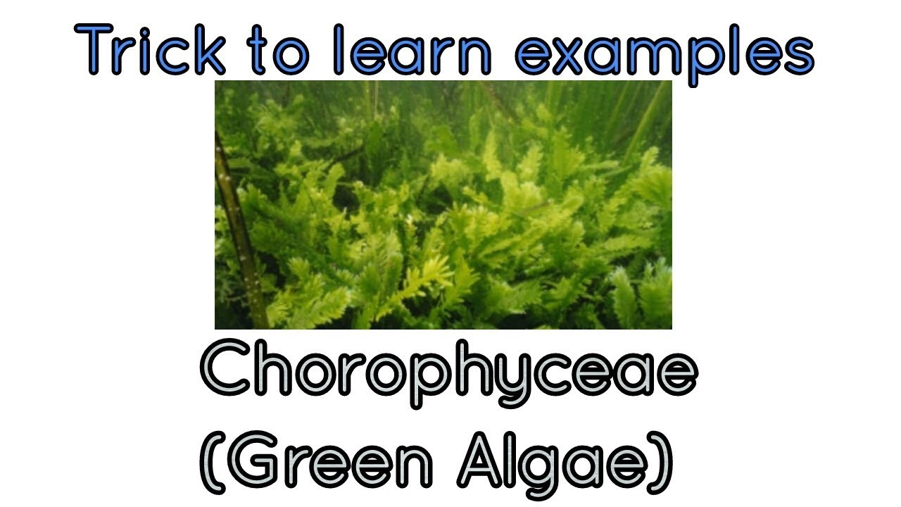 Awesome trick to learn examples of Chlorophyceae/green algae NCERT ...