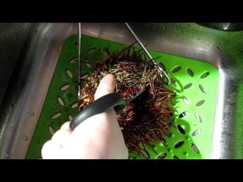 How to open a sea urchin for uni sashimi 開海膽