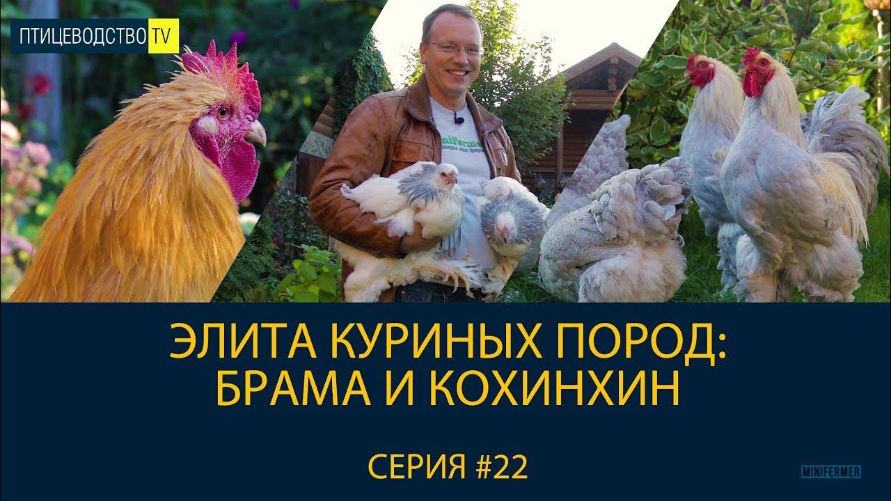 БРАМА И КОХИНХИН - элита крупных куриных пород. Рассказ о породах. Птицеводство ТВ #22