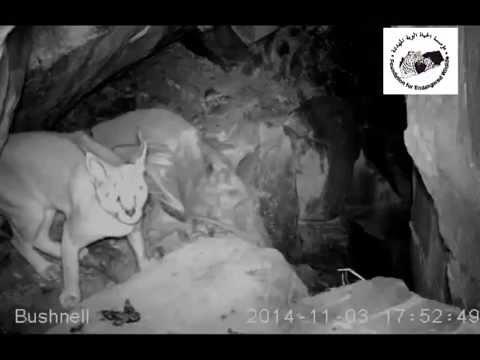 Foundation of Endangerd Wildlife - Yemen - Hajjah - Wadi Shares - Wildlife Records By camera Trap