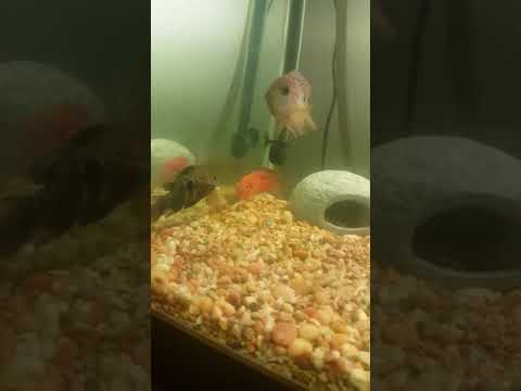 Green Terror Cichlid vs. Red Jewel Cichlid !!!