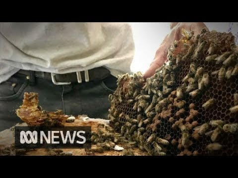 Australian man removes 'monster' bee hive without gloves | ABC News