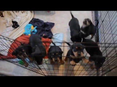 Rescue pups - Rottie/beagle mix?  Available Dec 26