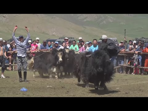 Yak rodeo riding and beauty pageants in Mongolia