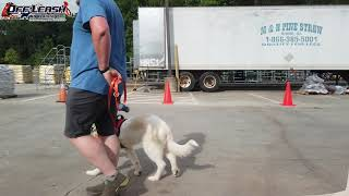 Dahlia | 5 Month Old Great Pyrenees | Board & Train Atlanta | Dog Training