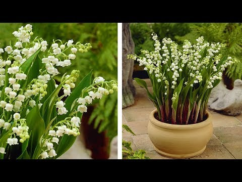 How To Plant Lily Of The Valley Spring Garden Guide Youtube