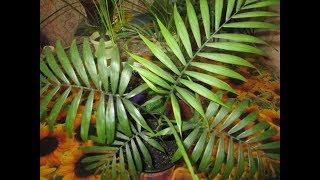 Пальмы - неизменные фавориты всех любителей цветов ! Секреты успешного ухода