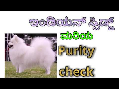 How to check purity of Indian Spitz in kannada