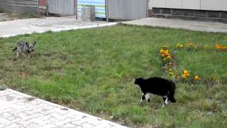 Бешеный бойцовский кот против собаки