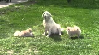 Домашние собаки. Собака лабрадор и померанские шпицы