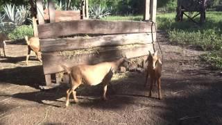 Les chèvres de Croc'Parc