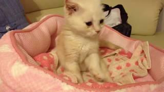 【子猫】ゴロゴロいいながらモミモミして眠る。・・・癒される