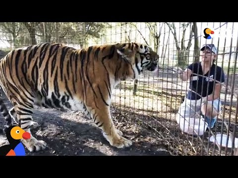 LIVE: Rescued Tigers Feeding & Playing With Christmas Trees at Big Cat Rescue | The Dodo