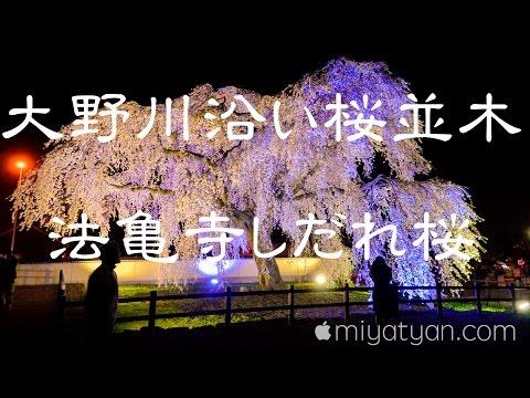 大野川桜並木と法亀寺しだれ桜 4K @DJI OSMO