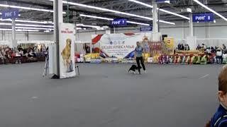 Бордер колли на выставке собак Пермь 27.01.2018г