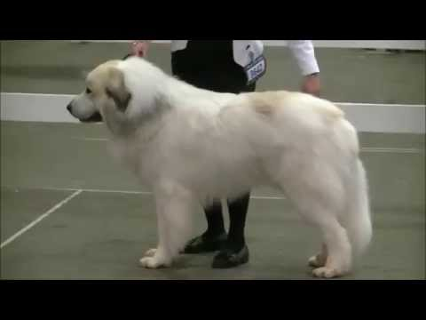 Pyrenean Mountain Dogs - Great Pyrenees @ Penellcy (Eros)