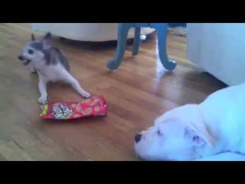 Funny Dogs Show All Signs Of Napoleon Complex