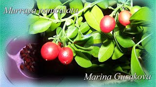 МУРАЙЯ  из ягодки  посев семян на рассаду / Муррейя (Муррайя, murraya).