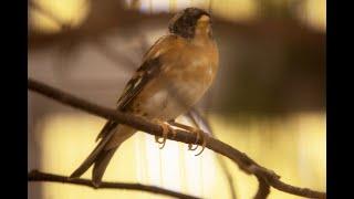 """Смотреть видео Коллекция лесных и экзотических птиц Петергофа (сюжет ТВ """"Вести. Санкт-Петербург"""") онлайн"""