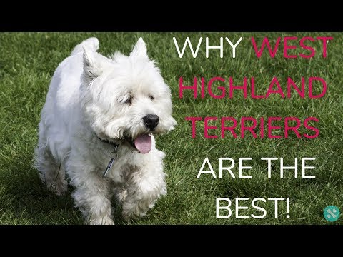 Why Westies Are The Best!