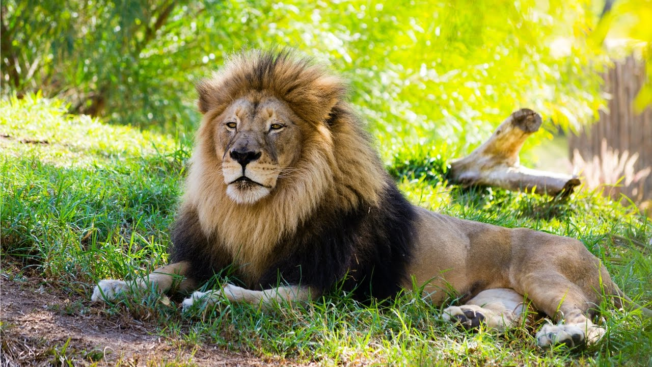 Lion Roar San Diego Zoo Safari Park Youtube