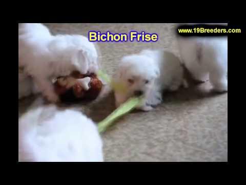 bichon-frise,-puppies,-for,-sale,-in,-billings,-montana,-mt,-missoula,-great-falls,-bozeman