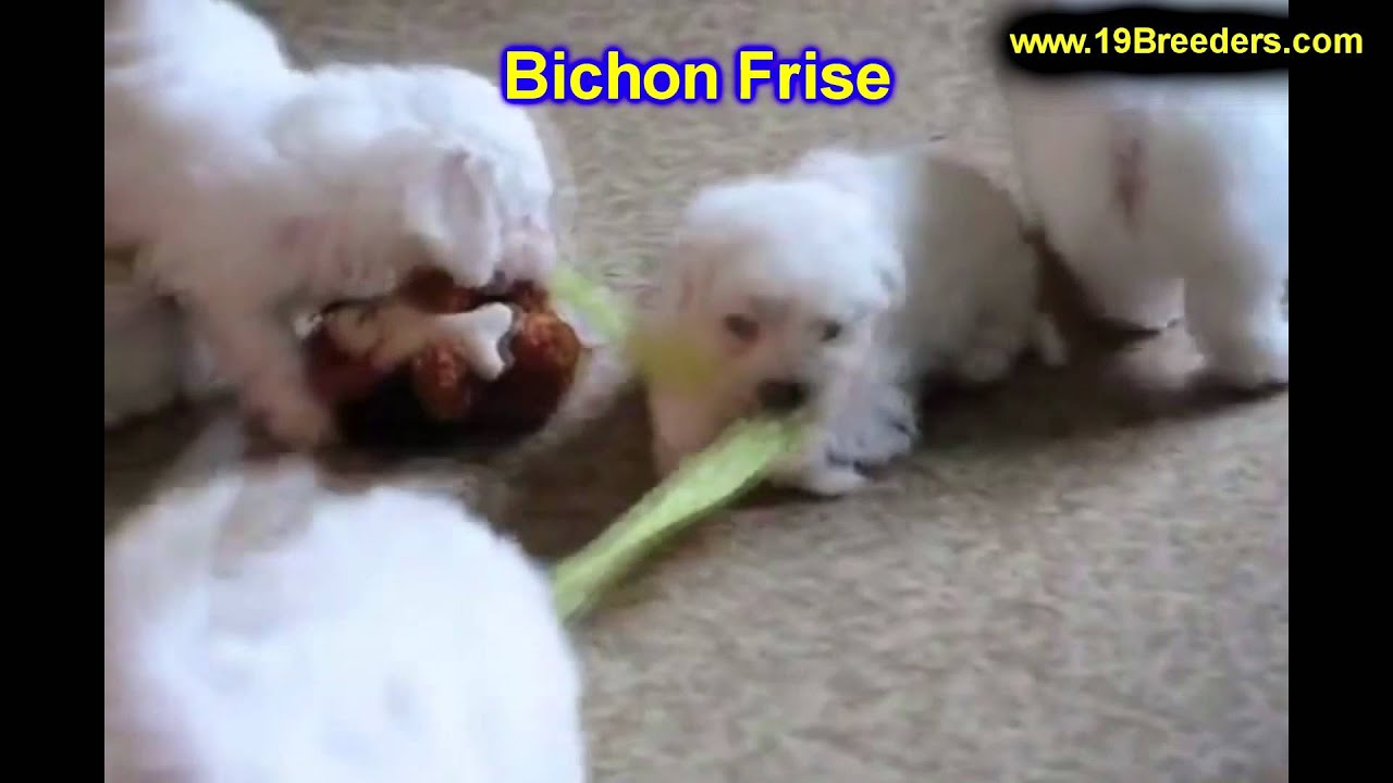 Bichon Frise, Puppies, For, Sale, In, Billings, Montana, MT, Missoula,  Great Falls, Bozeman