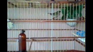 Plantel Mundo dos Pássaros( resultado ProtvitPLUS)