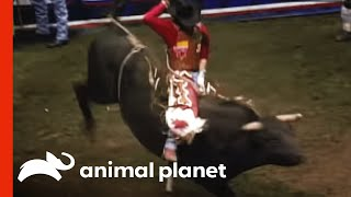 Rodeo Bull Attack