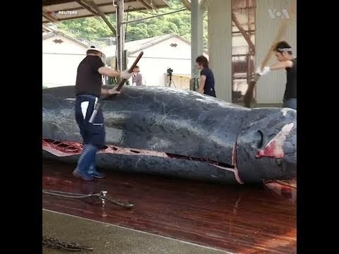 That's how the giant whale got caught. Amazing fishing abilities.