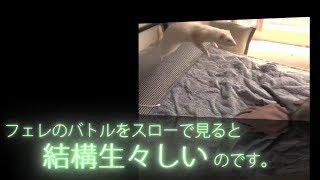【ferret movie】フェレットのバトル、スローで見ると意外と生々しい・・・ thumbnail