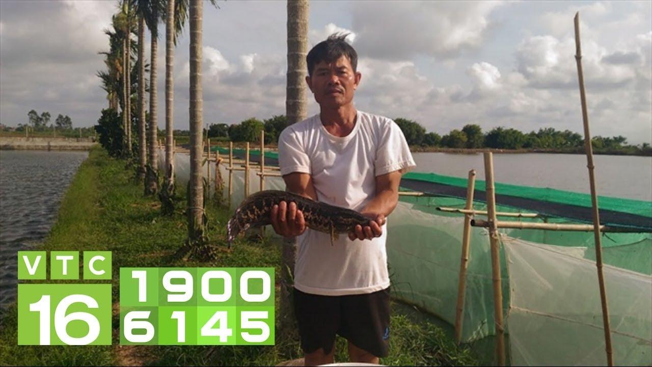 Lãi 1,2 tỷ đồng/năm nhờ nuôi cá chuối hoa trong lồng | VTC16