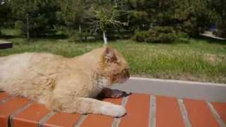 Massage for Cat - Смешной кот - урок массажа для кошек (Черноморск - Ильичевск - Одесса)