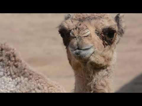 Dromedary Camel Calf