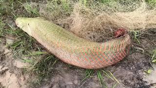 Unbelievable Fisherman vs. River Monsters Arapaima