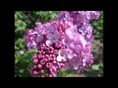 Gordon MacRae - Green Grow the Lilacs