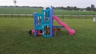 Saluki Puppies   10 Weeks